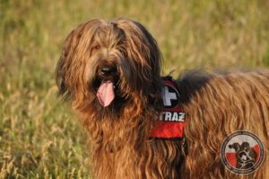 Dogs search and rescue dog Briard Bella