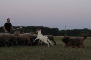 psy pasienie-herding trening briarda