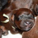 szczeniaki-mioty Briard kiskutyák berger de brie- briardpuppies.eu