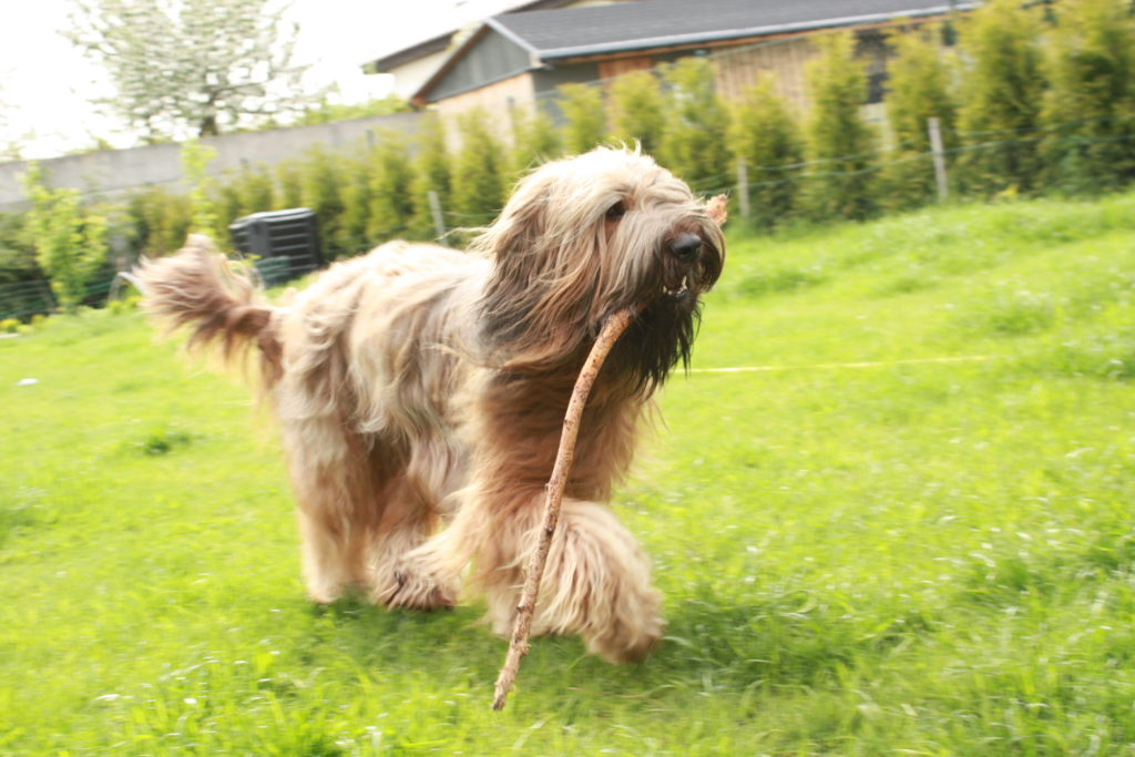 Gallery-Films-Photos Berger de Brie-Briard Kennel