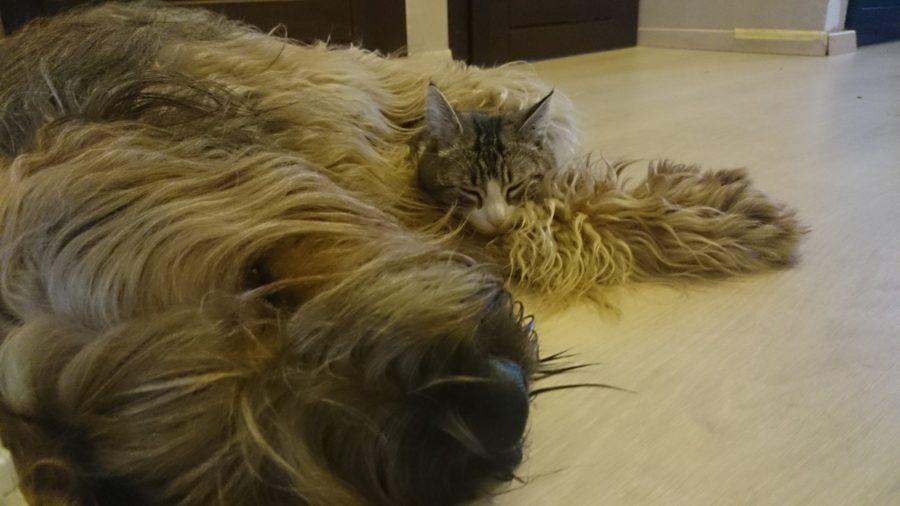 Cztery łapy-czy warto mieć psa - Briard Bella i kot Kociamber śpią