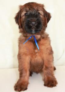 Blue Briard Puppy Valmont2