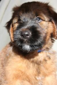 Blue Briard Puppy Valmont3