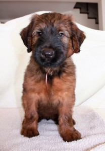 Szczeniaki-Mioty Brown Briard Puppy Viserion