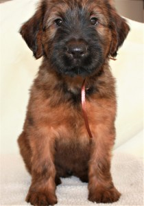 Szczeniaki-Mioty Brown Briard Puppy Viserion2