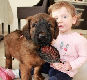 Szczeniaki-Mioty Brown Briard Puppy Viserion with Baby