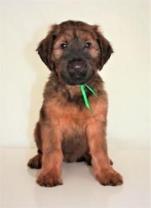 Szczeniaki-Mioty Green Briard Puppy Villemo