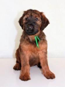 Szczeniaki-Mioty Green Briard Puppy Villemo1