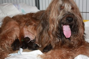 szczeniaki-mioty briard puppies with mother