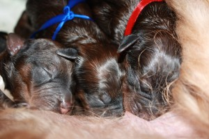 szczeniaki-mioty three sweet puppies briard