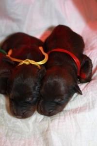 Szczeniaki-Mioty  two puppys briard sleep