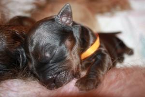 Szczeniaki-Mioty puppies briard suck,welpen