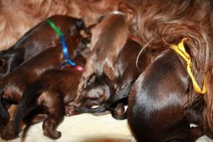 szczeniaki-mioty hungry briard puppys