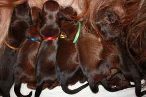 szczeniaki-mioty briard puppies eating