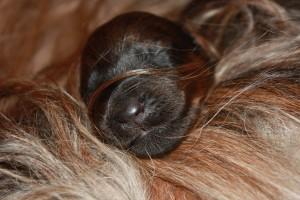 Szczeniaki-Mioty puppies briard sleep, welpen