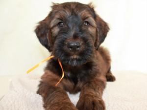 Szczeniaki-Mioty Orange Briard Puppy Visper