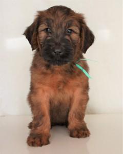 Szczeniaki-Mioty Turquoise Briard Puppy Vesuvio