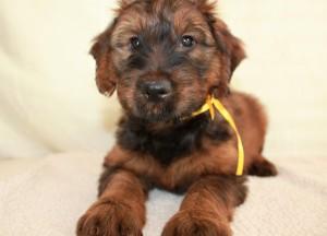 Szczeniaki-Mioty Yellow Briard Puppy Verabella
