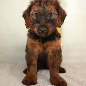 Szczeniaki-Mioty Yellow Briard Puppy Verabella1