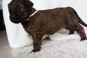 Szczeniaki-Miotyszczeniaki-mioty briard pink puppy 1-briardpuppies (2)